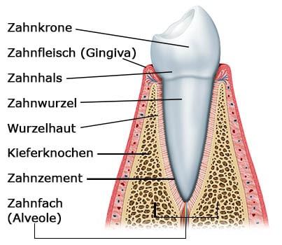 Aufbau Zahnhalteapparat