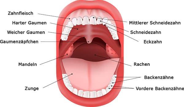 Aufbau des Mundes
